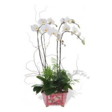 Four Stem White Phalaenopsis Orchid